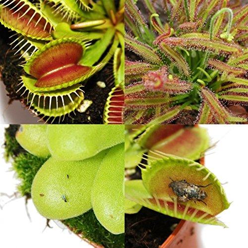 Starter Set Fleischfressende Pflanzen - 5 Pflanzen -