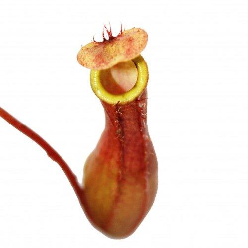 Kannenpflanze - Nepenthes - 9cm Topf -